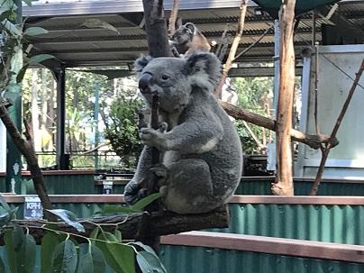 動物園・コアラ.JPG